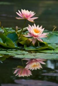 dreamstime_bloem_spiegel_in_water_21160785